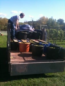 Matthew loading 3 tonnes of Madeleine Angevine grapes