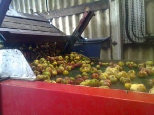 Orchard Pig Cider Production