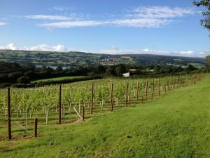 Lukes vineyard